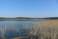 Mecklenburger Seenplatte (ThomasKohler) Tags: lake reed nature see natur teich schilf mv mecklenburg feisneck seenplatte feisnecksee