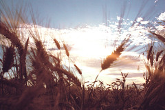 filmy memory. (roadkill rabbit) Tags: sky field clouds wind wheat flare spectral
