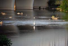 Little Heron 0095 (Gianluigi Roda / Photographer) Tags: summer birds rivers bologna urbanwildlife herons renoriver