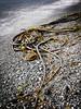 Bull Kelp, Beached (wolfnowl) Tags: ocean beach water rocks december bc pacific stones victoria vancouverisland shore hdr 2010 juandefucastrait nereocystisluetkeana 9images dallasrdshoreline britishcolumbiabullkelp