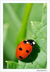 Lady (alessandro.baldini) Tags: macro animals natura tamron90mm coccinella tamron90f28 tamron90mmf28 flickraward beautifulmonsters superstarthebest flickraward5 mygearandme mygearandmepremium mygearandmebronze mygearandmesilver mygearandmegold d3100 artistoftheyearlevel3 artistoftheyearlevel4