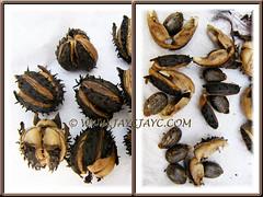 Spiny seedpods and mottled seeds of Ricinus communis (Castor Bean, Castor Oil Plant, Palma Christi)