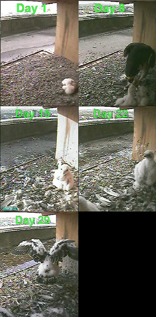 Comparison shot: the chicks at hatching and at 1,2,3 and 4 weeks old