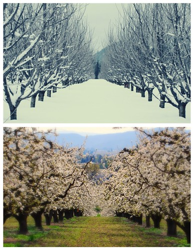 my orchards