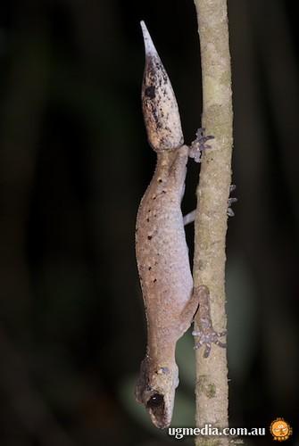 Chameleon gecko (Carphodactylus laevis)