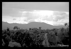 Vignes (Thomas Douvry) Tags: nature noiretblanc nuages vignes