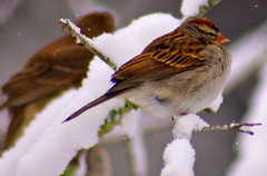 Chilly Chipper (T i s d a l e) Tags: winter snow storm bird backyard farm wildlife january northcarolina chippingsparrow nikond40 avianexcellence goldstaraward tisdale53