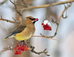 One Good Berry Deserves Another (Fort Photo) Tags: winter wild snow bird nature birds animal tongue nikon bravo berries searchthebest bokeh wildlife birding urbanwildlife portfolio ornithology 2009 waxwing cedarwaxwing avian mountainash d300 sb800 300f4 hbw specanimal mywinners karmapotd karmapotw specanimalphotooftheday anawesomeshot avianexcellence vosplusbellesphotos