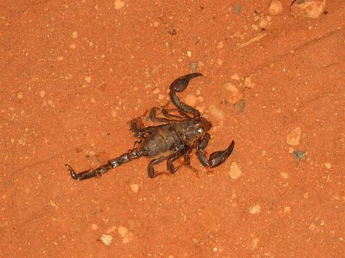 surprise scorpion