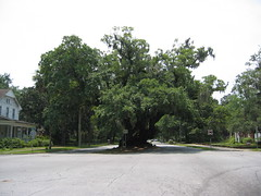 Lover's Oak (Frank Kehren) Tags: canon georgia oak brunswick spanishmoss albany canonpowershots45 loversoak