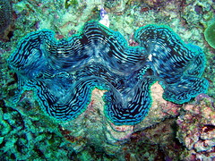 #376 giant clam () (Nemo's great uncle) Tags: giant geotagged underwater australia sealife qld cairns greatbarrierreef tridacna gbr cns giantclam  tridacnagigas  saxonreef   geo:lat=16465581 geo:lon=145990168 geo:lat=164655814 geo:lon=14599016749999998