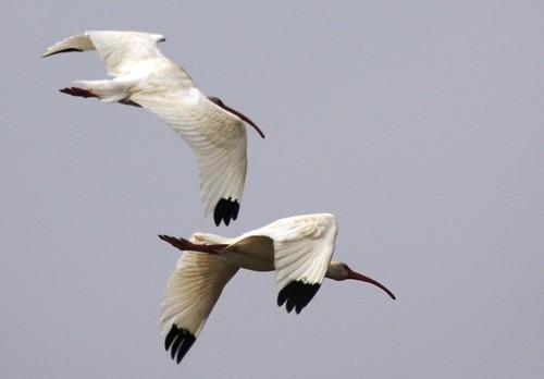 White Ibis - 2/28/2009