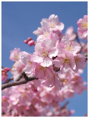 Cherry blossoms 090305 #12