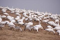 196_6 (lisa_praul) Tags: flock middlecreek snowgeese
