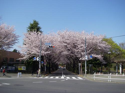 Neighborhood sakura
