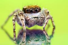 Adult Male Habronattus sp. (Mundo Poco) Tags: macro canon spider arachnid jumpingspider salticidae mpe65mm eos450d habronattus natureoutpost rebelxsi