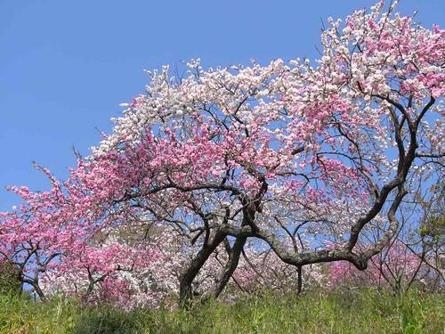 09-04-10【桜】@桜井市の道沿い-02