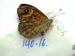 Lasiommata meadawoldi