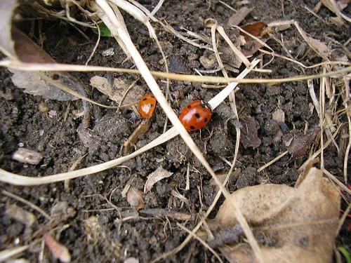 Chasing Ladybugs