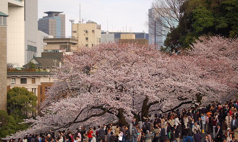 _cherry_blossom-4_