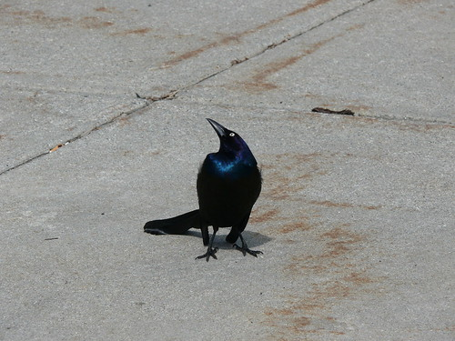 Inquisitive Grackle