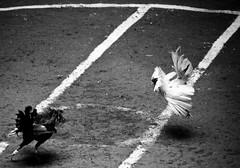 COCKFIGHT (90) (Peter_O'Driscoll) Tags: gambling game spur fight fighter attack culture cockpit clash peter coliseum rooster tradition breed combat gamble betting bet cultural gladiator manok gamecock gambler gallera sabong wager bloodsport cockfighting odriscoll stamina warrier panay gamefowl hahnenkampf cityoflove iloilocity combatdecoqs rinhadegalo bulang 鬥雞 colseum sagupaan đágà combattimentodigalli bulangan pasampok 闘鶏 닭싸움 riñadegallos петушиныебои ตีไก่ sabonero manoktukaan peterodriscoll