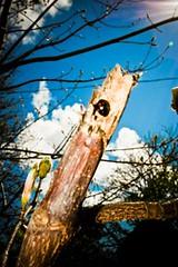 BLACK LADYBUG.FFX © Florbela's Fotographix.IMG_8602 (florbelas fotographix) Tags: blue trees sky macro verde green nature skyline vancouver insect spring interesting different unique bugs ladybug unusual bluelight ffx bluefilter grn macromondays blackladybug florbelasfotographix