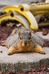 Could You Turn On The Sprinkler? (James Marvin Phelps) Tags: urban cute animal photography rodent furry backyard squirrel michigan wildlife fox jmp foxsquirrel mandj98 jmpphotography jamesmarvinphelps michiganfoxsquirrel riverviewmichigan