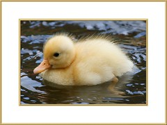 sweetie (antjeduvel) Tags: water animal duck spring ente lente dier eend tier frhling babyduck kuikentje canoneos400d