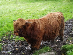 Saturday the 20th September (1) (divnic) Tags: scotland cow cattle glasgow horns southside calf highlandcattle citypark pollokpark babycow highlandcow glasgowcitycouncil highlandcows pollokcountrypark glasgowcitycouncilhighlandcow