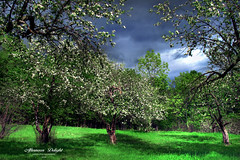 Blossoms (Imapix) Tags: canada art nature fleurs canon photography photo foto photographie image quebec blossom orchard qubec appletree verger pommier imapix gaetanbourque imapixphotography gatanbourquephotography