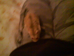 Toby on my leg (ikieran97) Tags: hamsters