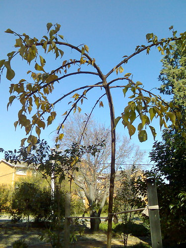 weeping apricot in autumn