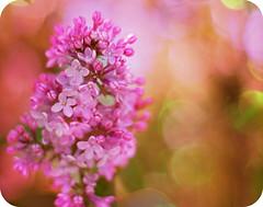 Let Your Fragrance Fill This Place (fullofbliss) Tags: flower texture bokeh sparkle picnik lilacs perfectpurplesaturdays