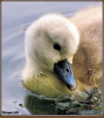 Sweety! (Margot) Tags: bird spring swan pond seasons cygnets sweety birdwatcher margotpouw fowlfeatheredfriends 196366 project366 margot 1on1avianphotooftheweek 6thisyear 1on1avianphotooftheweekjune2009
