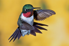 Ruby-Throated Hummingbird - High speed flash photography (RichardDumoulin) Tags: nature canon wildlife birding richard soe f28 watcher naturesfinest 300l dumoulin featheryfriday specanimal redthroatedhummingbird highspeedflashphotography avianexcellence 1dmk3 naturewatcher natureselegantshots alemdagqualityonlyclub vosplusbellesphotos beyondbokeh colibrigorgeruby