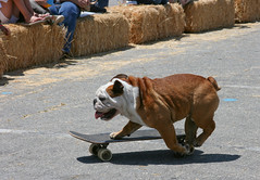 Tillman The Skateboarding Bulldog (puck90) Tags: dog pets dogs photo skateboarding bulldog event puck90 petexpo santaclaritaca tillmantheskateboardingbulldog