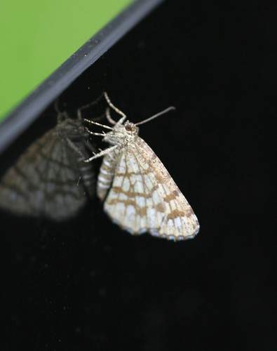 Latticed Heath (Chiasmia clathrata clathrata)