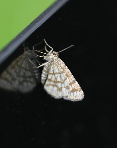Latticed Heath (Chiasmia clathrata clathrata)