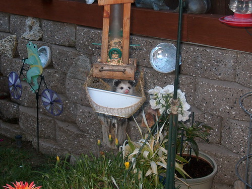 opossum in bowl1