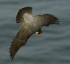 Falcon Attack (Sharpeyesonline) Tags: ocean california male nature pacific diving coastal raptor falcon stoop birdofprey peregrine peregrinefalcon tiercel vocalizing anatum falcoperegrinusanatum willjamessooter wwwsharpeyesonlinecom