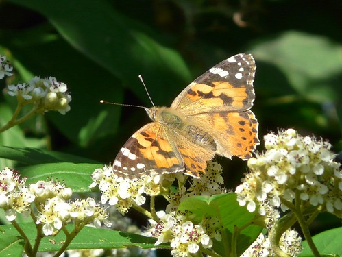 Painted Lady in Stave Hill Ecology Park