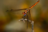 Looking for greener pastures (Filan) Tags: iran dragonfly persia micro globalwarming ket kishisland kenko sanjaghak filan greenearth kenkoextensiontube nikkor200mmf4 greenerpasture filanthaddeusventic kenkodg filannikon filand3 filantography nikonfilan filanthography nikonianfilan iamfilan