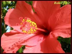 Hibiscus, Rosa china... ROJA