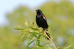 Red Wing Blackbird (kenyaya) Tags: park red toronto ontario canada black bird nature birds canon rebel fly high natural wing xs blackbird redwing 1000d