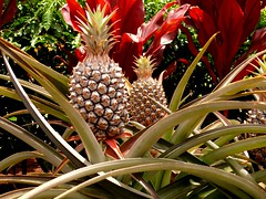 Pineapple (acmelucky777 (so busy right now...)) Tags: ocean usa island hawaii islands us pacific panasonic insel pacificocean pineapple hawaiian hi ananas 2009 aloha dmc fz50 pazifik inseln alohastate hawaiianislands pazifischerozean 1260218