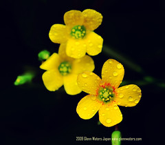 Buttercup Flower   Glenn E Waters (About 6mm in size) (Explored). Over 9,000 views to this photo.  Thank you. (Glenn Waters in Japan.) Tags: flower macro yellow japan nikon buttercup explore hirosaki  105mm   exploerd  glennwaters nikkor105mmf28gifedafsvrmicro nikind700