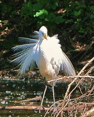 Ruffle the feathers (o-rusty-nail) Tags: naturegroup worldbest peaceaward crystalaward photographersgonewild worldnaturewildlifecloseups vosplusbellesphotos natureisallallisnature worldclassnaturephotos