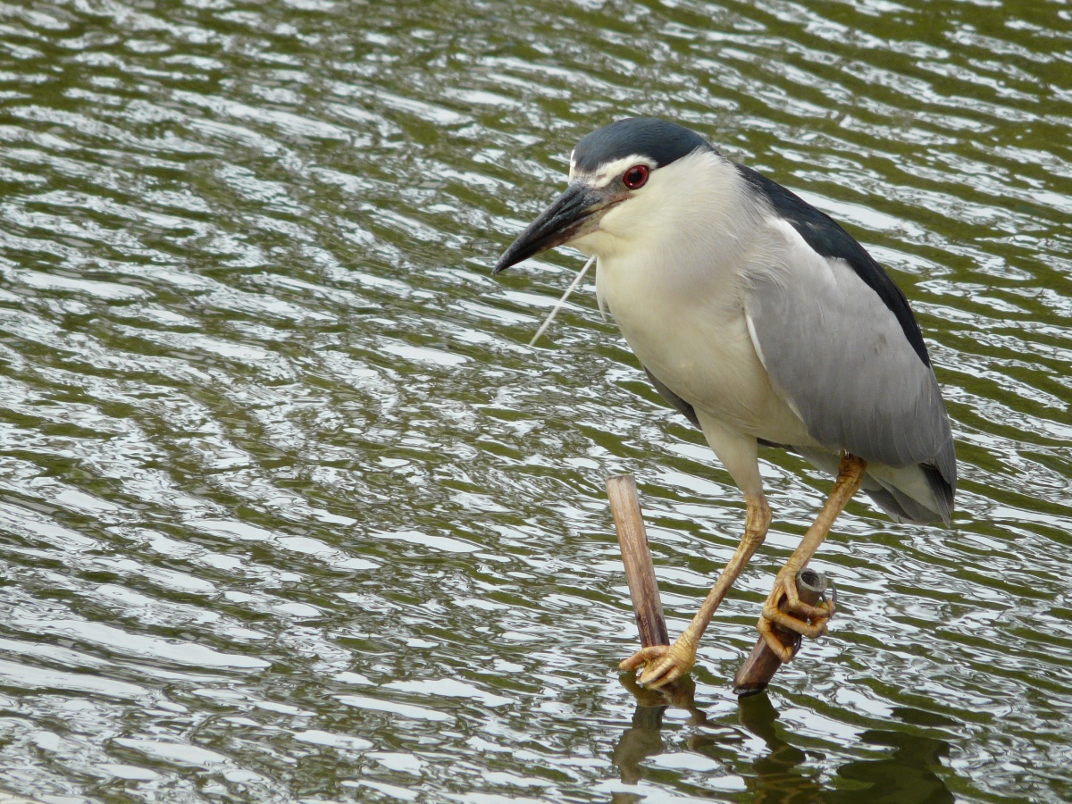 Black-crowned Night Heron (Nycticorax nycticorax) - 夜鷺