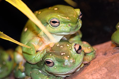 Magnificent Green Tree Frogs (ppv247) Tags: park tree green feet canon pevy jump eyes hug couple reptile australian amphibian frog hop magnificent bulging webbed ppv 40d ppv247 peterpevy